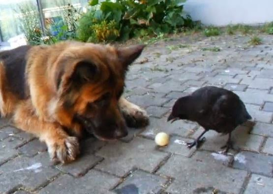 Dog and Crow Adorably Play Ball Together