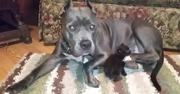 Pit-bull-adopts-kitten-2-600x313